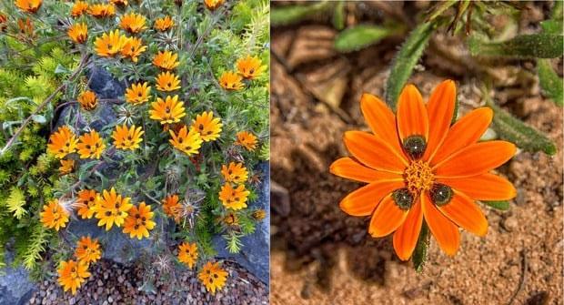 hoa-Gorteria-diffusa