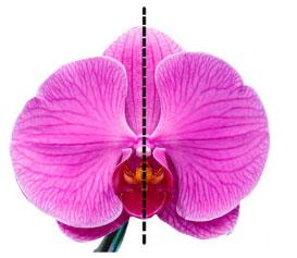 Hoa lan với cấu trúc đối xứng 2 bên.
