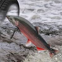 Cá hồi đứng trước nguy cơ tuyệt chủng bởi chất độc có trong lốp xe