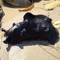 Sên biển lớn nhất thế giới có ngoại hình giống sinh vật từ hành tinh khác