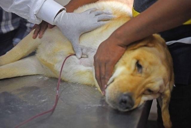 Các bác sĩ đang trích máu hiến tặng từ một chú chó nhằm bổ sung vào ngân hàng máu chó dự trữ