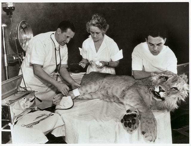 Tiến sĩ WA Jaquiss đang truyền máu cho sư tử
