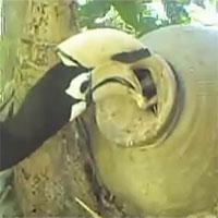 Video: Phượng hoàng đất đực bón thức ăn nuôi bạn tình trong chum
