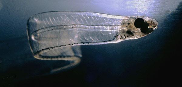Những dải băng nổi trong suốt của ấu trùng cá chình