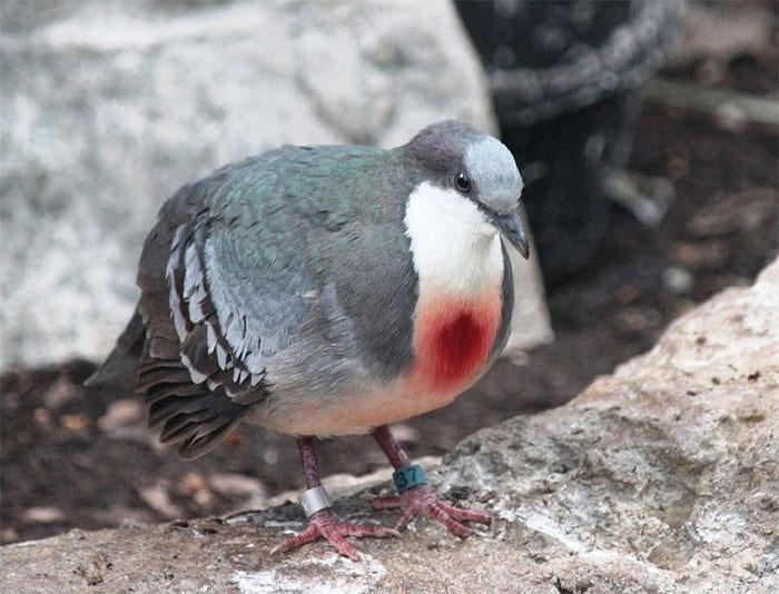 Chim bồ câu có đeo số để theo dõi nghiên cứu.