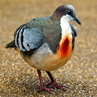 """Sự thật về chim bồ câu luôn mang """"vết thương giữa ngực"""""""