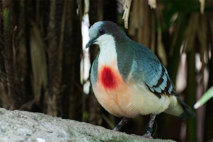 Phần lông màu đỏ tươi ở giữa ngực giống như vết thương giữa ngực.