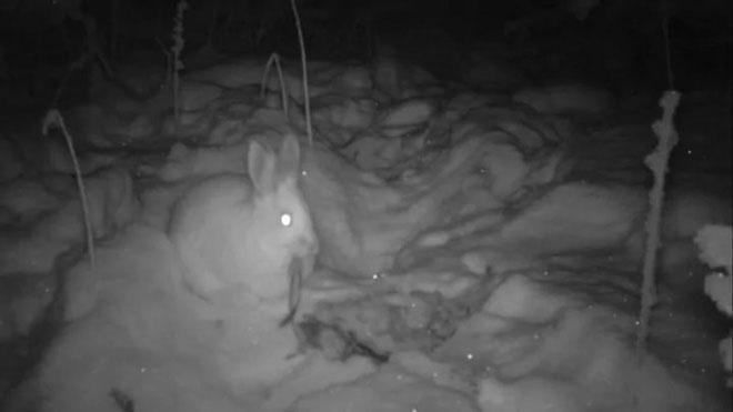 Camera hồng ngoại ghi lại hành vi ăn thịt của thỏ snowshoe.