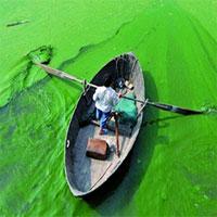 """Sáng chế """"biến"""" tảo lam độc hại thành bột protein"""