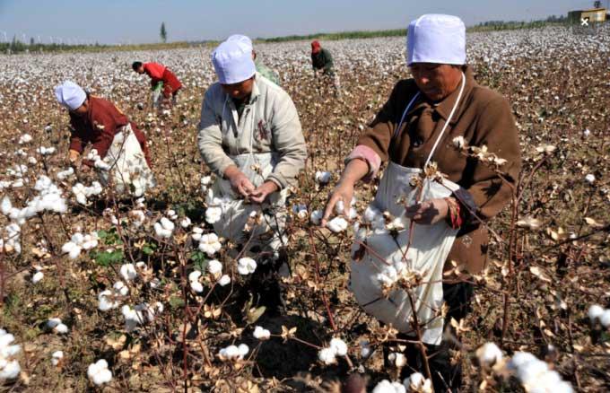 Nông dân thu hoạch bông ở khu tự trị Tân Cương, Tây Bắc Trung Quốc.