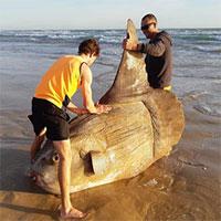 """Loài cá """"quái vật"""" nặng hàng tấn và """"siêu lười"""""""