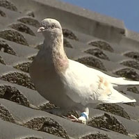 Australia quyết tiêu hủy chú chim bồ câu bay xuyên Thái Bình Dương