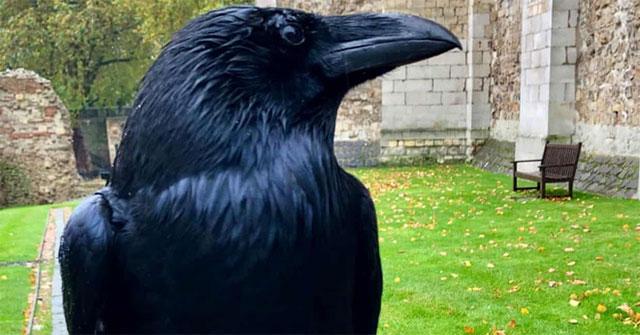 Con quạ nổi tiếng ở London đột ngột mất tích