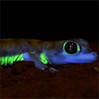 Loài tắc kè sa mạc kì lạ có khả năng phát sáng dưới ánh trăng