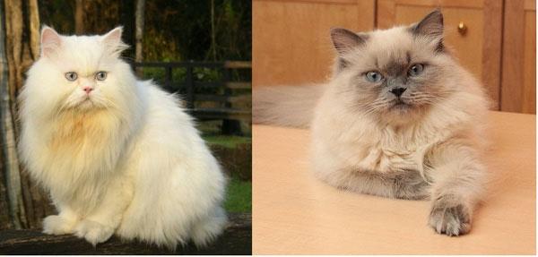 Mèo Ba Tư và mèo Himalaya thuần chủng.