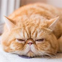 Khuôn mặt dễ thương - lợi thế hay bất lợi đối với loài mèo?