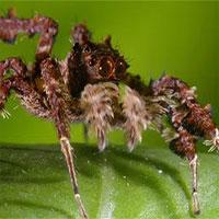 """Chuyện về con nhện đi săn nhện: Thạo binh pháp như """"Gia Cát Lượng"""", đầy mưu hèn kế bẩn để săn mồi bằng mọi giá"""