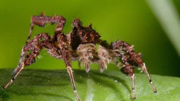 Phân loài P.fimbriata ở Queenland có thực đơn hầu hết gồm nhện dệt mạng
