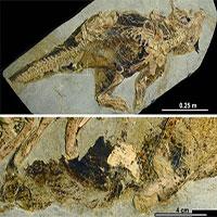 Hóa thạch tiết lộ cách khủng long đi vệ sinh và giao phối