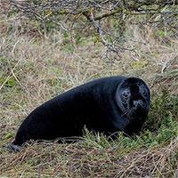 Hải cẩu toàn thân đen tuyền vì nhiễm hắc tố