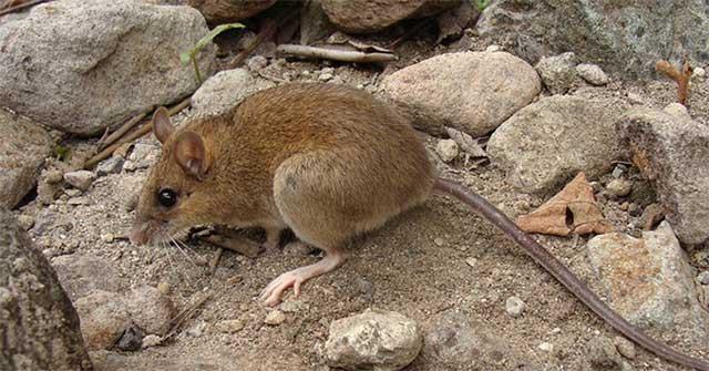 Tái phát hiện loài chuột núi lửa tưởng đã tuyệt chủng
