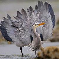 Đây là loài chim có thể nuốt chửng cá sấu và những bữa ăn vô cùng kinh dị của chúng
