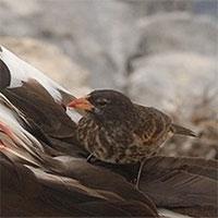 """Chim sẻ """"ma ca rồng"""" tiến hóa để sống sót trong môi trường khắc nghiệt"""
