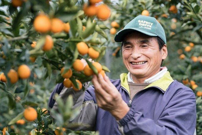 Một người nông dân thu hoạch quất ở Miyazaki, Nhật Bản.