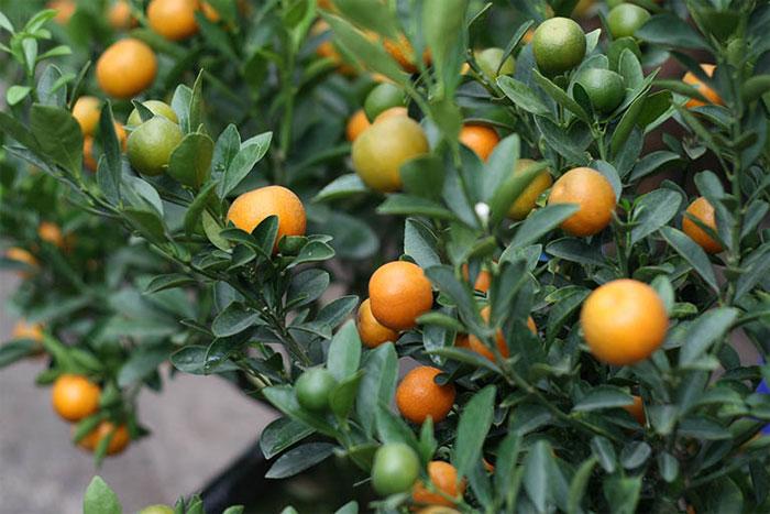 Quả quất là nguồn vitamin C và E dồi dào, thích hợp để làm món ăn nhẹ ngày xuân.
