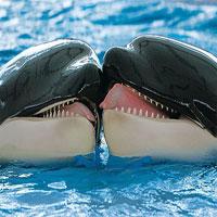 Khoảnh khắc 'khóa môi' đầy thú vị của hai chú cá voi sát thủ