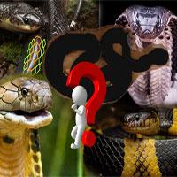 """Loài rắn độc nhất Việt Nam: Cạp nong, cạp nia hay hổ mang chúa cũng không có """"cửa"""""""