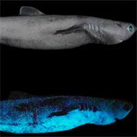 Phát hiện cá mập phát sáng khổng lồ
