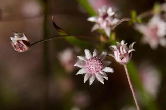 Một con ong đậu trên một bông hoa bích thảo trong công viên quốc gia Blue Mountains.