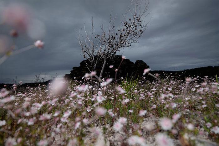 Hoa bích thảo vươn mình dưới những cánh rừng bị thiêu rụi vì cháy.
