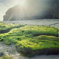 """Vẻ đẹp mê hoặc lòng người của """"cánh đồng rêu"""" ở Lý Sơn"""