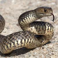 Sự thật về 12 loài rắn cực độc trên thế giới