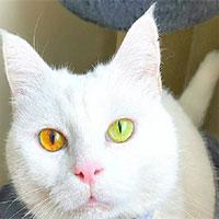 Con mèo có màu mắt thay đổi theo thời tiết