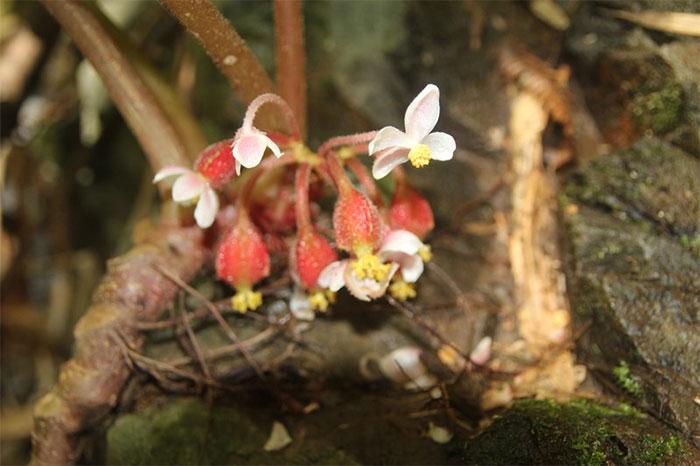 Loài Thu hải đường mới là nguồn gene quý hiếm bởi hình dáng đẹp, hoa có màu sắc sặc sỡ.