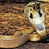 Loài rắn trên cạn có nọc độc nhất tại Việt Nam