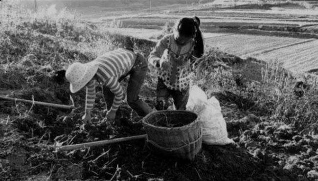Cô gái Hà Chiêu Đệ ,17 tuổi như thường lệ đi làm đồng sau bữa sáng.