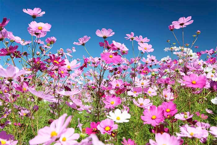 Hoa cúc sao nhái là một trong những loại hạt giống được lựa chon gửi lên Trạm Vũ trụ ISS.
