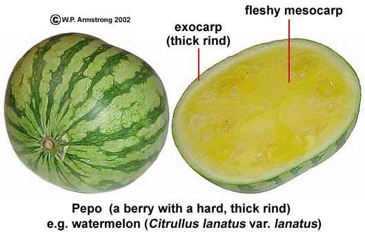 Hầu hết mọi người đều nghĩ dưa hấu là trái cây vì chúng rất mọng nước và ngọt.