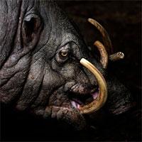 Quái vật lợn có bộ dạng kỳ dị ở Indonesia