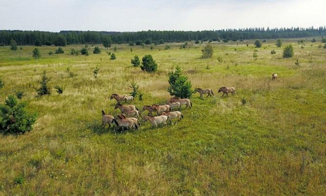 Nhiều loài động vật hoang dã được tìm thấy tại những khu vực bị ảnh hưởng bởi thảm họa Chernobyl.