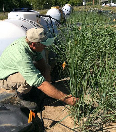 GS. Neil Bruce đang lấy mẫu cỏ biến đổi gene trồng trên đất ô nhiễm.
