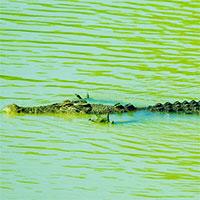 """Hình ảnh ngộ nghĩnh: Cá sấu """"xòe tay"""" để săn cá"""