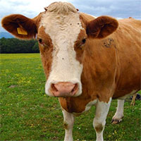 Phân bò chứa chất gì mà dân Ấn Độ bôi lên cơ thể, hy vọng chống Covid-19?