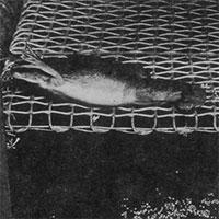 Vì sử dụng ếch để thử thai, con người có thể đã gián tiếp hủy diệt gần một trăm loài lưỡng cư