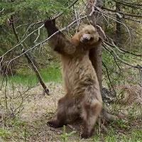 """Không chỉ riêng con người, gấu nâu cũng biết """"múa cột"""""""