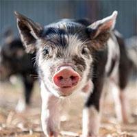 """Phát hiện mới gây choáng váng: Lợn có thể thở bằng """"mông"""""""